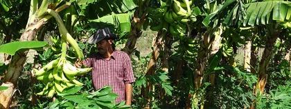 De boer tussen de bananenbomen op de finca